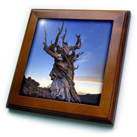 3dRose Danita Delimont - Trees - USA, California, White Mountains. Bristlecone Pine Tree at Sunset. - 8x8 Framed Tile (ft_314648_1) ()