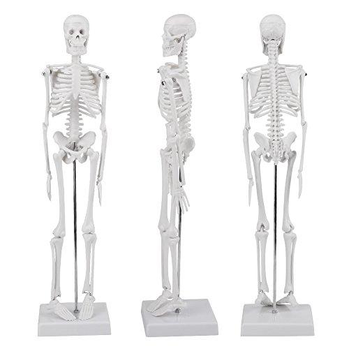 (Human Skeleton Model,Full Body 45cm (17.7inch) Human Skeleton Anatomical Model on Plastic Base for Medical Anatomy (White))