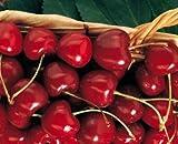 Kristin Cherry Tree Seeds - 20 Cherry Seeds - Qualityseeds4less Exclusive