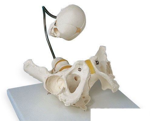 3B社 生殖器骨盤模型 分娩デモンストレーション用骨盤モデル (l30)   B003Z2S9DU