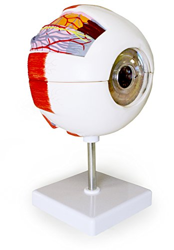 Vision Scientific VAE403-A 6X Eye Model 6 Parts | Shows Optic Nerves | Muscles in Natural Position & Bony Orbit | Dissected Horizontal Plane Reveals Cornea, Iris, Lens & Vitreous Body | W Key Card