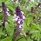 New Cinnamon Basil 10 + Seeds - Emerald green leaves with beautiful purple stems