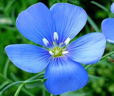 FLAX BLUE ANNUAL Linum Usitatissimum - 10,000 Bulk Seeds (Linum Usitatissimum Seed)
