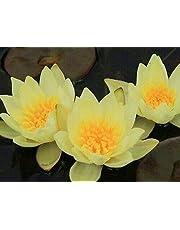 FidgetKute Nymphaea Helvola (Dwarf) Yellow Hardy Water Lily Tuber Pond Plant A009 (Offer)