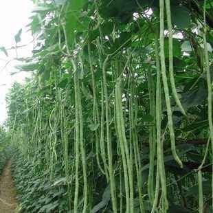 Amazon.com: Semillas de frijoles largos, 0.53 oz de ...