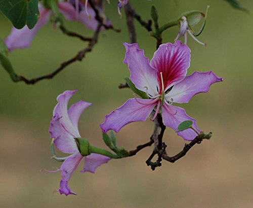 9f5a3bd4e814 LAMINATED 29x24 inches Poster  Flower Bauhinia Purpurea Orchid Tree Purple  Flora Bloom Blossom - Buy Online in Oman.