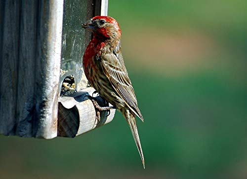 (Home Comforts Peel-n-Stick Poster of Wildlife Finch Red Headed Finch Feeder Avian Bird Vivid Imagery Poster 24 x 16 Adhesive Sticker Poster Print)