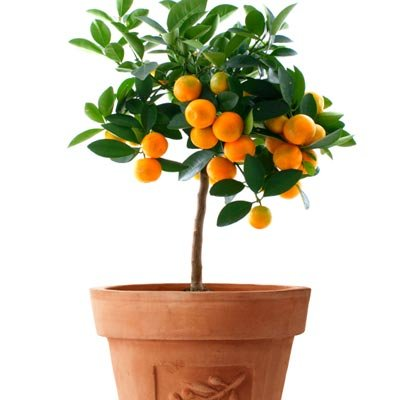 Brighter Blooms Calamondin Orange Tree - Get Delicious Fruit and Fragrant Flowers from this Cold Hardy Ornamental Citrus Tree (Live Potted Plant)