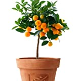 Calamondin Orange Tree - up to 6 ft. Tall Trees, Ready to Give Fruit the 1st Year