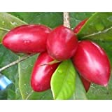 15 Miracle Fruit Seeds (Synsepalum Dulcificum) - Grow Your Own Miracle Fruit Plants - Fruit Turns Sour to Sweet