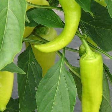 Seekay Dulce Pimiento Dulce Banana - 25 Semillas: Amazon.es: Jardín