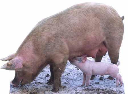 Pig and Piglet - Wildlife/Animal Lifesize Cardboard Cutout / Standee / Standup