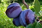 Damson Plum Tree Certified 5 Seeds #3931 Item UPC#636134972427
