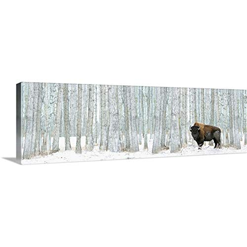 Buffalo Standing in Snow Among Poplar Trees in Elk Island National Park; Alberta, Canada Canvas. (On Canvas Buffalo Painting)