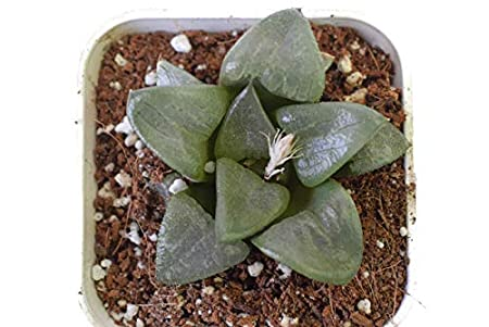 Seedsnpots Haworthia akanko Rare Succulent