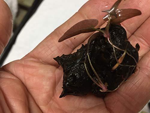 (Nymphaea Rubra Bulb Dwarf Water Lily Live Aquarium Plants L127)