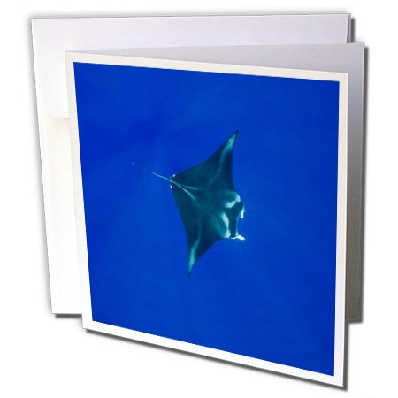 3dRose Hawaii, Big Island, Manta Ray marine life - US12 PSO0034 - Paul Souders - Greeting Cards, 6 x 6 inches, set of 6 (gc_89844_1)