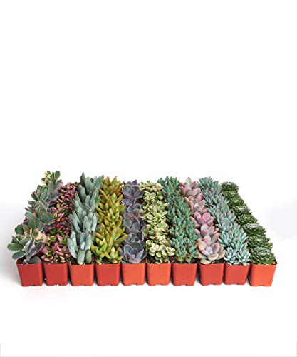 Shop Succulents| Premium Pastel Collection of LiveSucculent Plants, Hand Selected Variety Pack of Mini Succulents | Collection of 140 in 2'' pots by Shop Succulents (Image #1)
