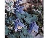Aquilegia - Alpina - 100 Seeds