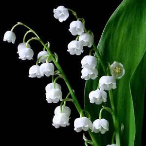3 graines de muguet de mai convallaria majalis h165 lily of the valley seeds home