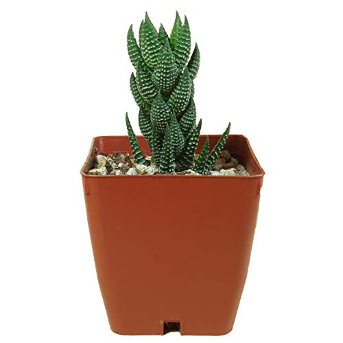 "SucCuteLents Haworthia Aloe Succulents - Cactus Decor Succulent Aloe Plant Rooted in 3"" Planter Pot (Spiral Wart)"