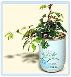 Mimosa Tree ()