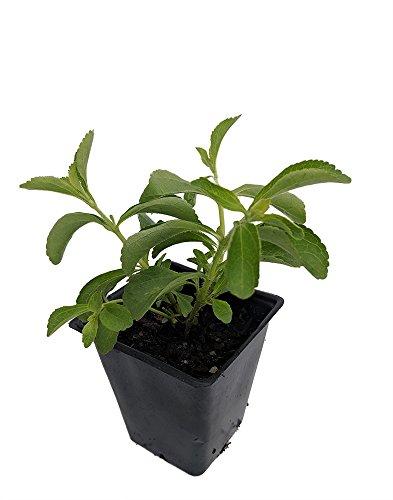 "Amazing Sugar Plant - Sweetleaf - No Calories - Stevia - 4"" Pot"