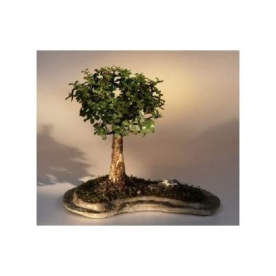 Bonsai Boy's Baby Jade on Rock Slab Bonsai Tree Portlacaria Afra: Garden & Outdoor