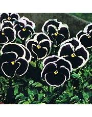 Semi di Pansy Giganteschi Viola - Viola x wittrockiana