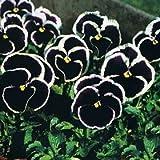 Giant Dark Purple Stiefmütterchen Samen - Viola x wittrockiana