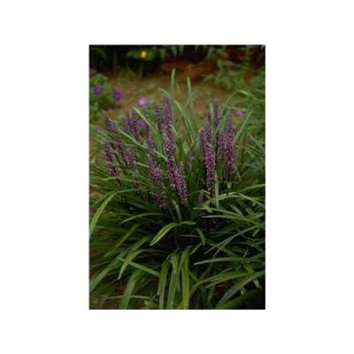 "(18 Plant Flat-3.5"" Pots) Liriope Muscari 'Royal Purple' Monkey Grass/lilyturf Deep Green Foliage with Deep Purple Flowers, Clumping. : Garden & Outdoor"