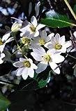 "Hirt's Gardens Sweet Autumn Clematis Vine - Clematis paniculata - Fragrant - 2.5"" Pot"