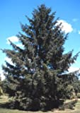 Picea abies: Norway Spruce Seeds