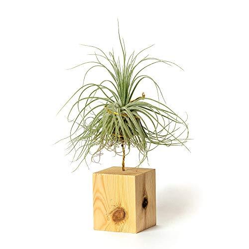 PLANDAIRE Plantas de Interior para Decorar la Oficina Escritorio Estudio faciles de cuidar Tillandsia Magnusiana (Soporte Incluido) (Pino)