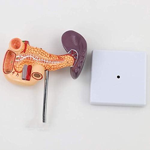 Educatief model Spijsvertering Anatomisch model Pancreas Spijsverteringsstelsel Milt en twaalfvingerige darm Lever Galblaas Miltmodel Schoolonderwijs