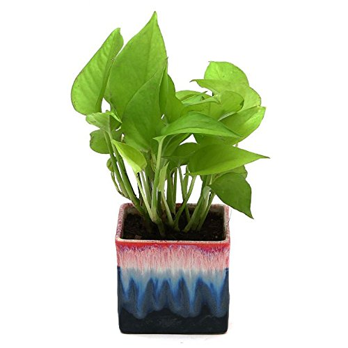 Exotic Green Indoor Oxygen & Air Purifier Plant Golden Pothose In Rainbow Black Ceramic Pot Ornamental & Shade Trees at amazon