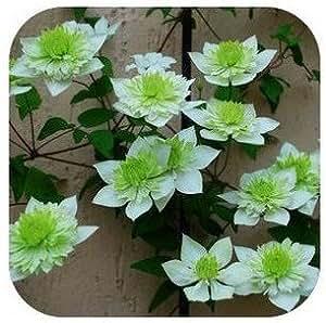 clematis mezcla, semillas de plantas clematis, no el clematis arraigados, 30 semillas / bolsa