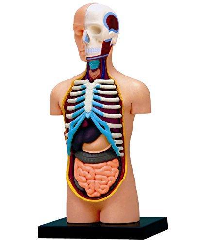 Amazon.com: 4D Vision Human Anatomy Torso Model: Toys & Games