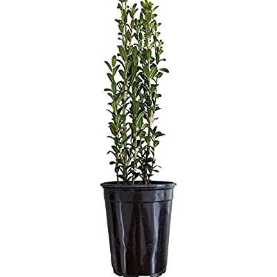 AchmadAnam - Live Plant - Ilex Sky Pencil Holly Quart Pot. E15 : Garden & Outdoor