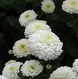 Creative Farmer Jamanthi Poovu Chrysanthemum Flower Seeds
