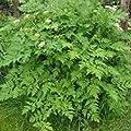 IDEA HIGH Herb Seeds - Chervil Plain - 2000 Seeds