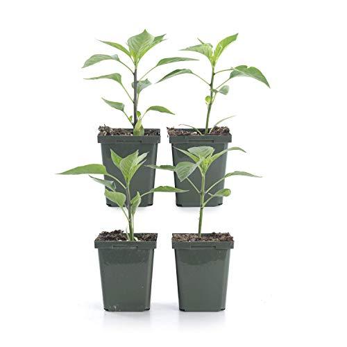 Plants by Post 4-inch Pepper Habanero (Set of 4) Orange