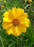 Seeds Yellow Sand Coreopsis Lanceolata Tickseed Get 1000 Seeds #LC01YN