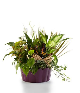 Serenity Basket - Same Day Indoor Plants Delivery - Best House Plants - Home Plants - Living Room Plants - Fresh Cut Flowers