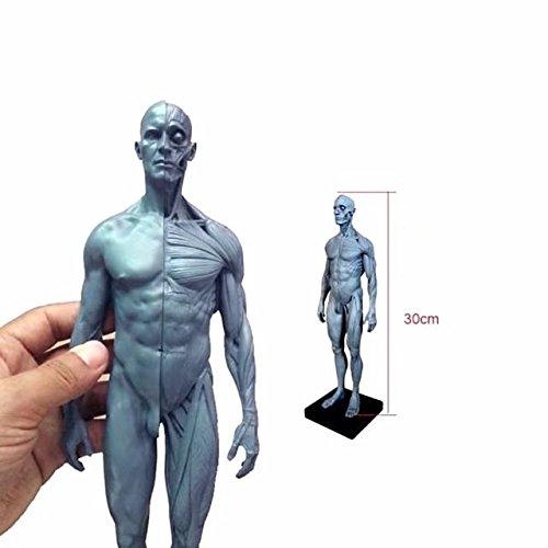 BoNew-Oral 30CM Human Anatomical Anatomy Skull Head Body Muscle Bone Resin Model