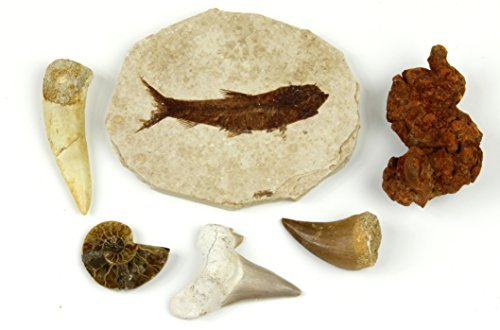 Fossil Collection Set, 6 Pc with Fish fossil (Knightia Eocaena), Coprolite (turtle poo!), Shark tooth (Otodus), Fish tooth (Enchodus), Mosasaurs tooth, and Ammonite! Real Specimens, Dancing Bear Brand by Dancing Bear