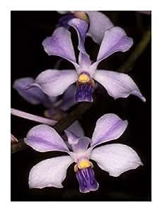 Vanda coerulescens - orchid - 100 seeds