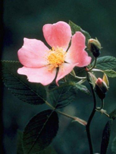 Rosa virginiana Virginia Rose 10 Seeds