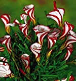 Loss Promotion! Oxalis versicolor flowers seeds 100pcs World's Rare Flowers For home Garden planting Flowers Semillas