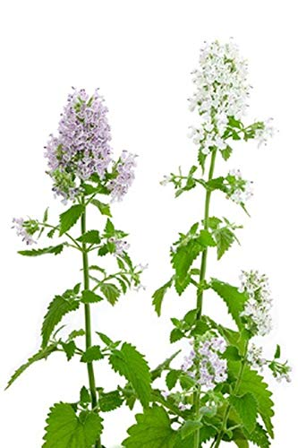 Flower Catnip - Organic Catnip Seeds - Both the flowers and foliage are very aromatic! Go Kitty!(50 - Seeds)